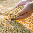 Soy beans after harvest — Stock Photo
