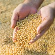 Stock Photo: Soy beans after harvest