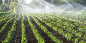 Irrigation of vegetables — Stock Photo