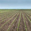SoybeField Rows — Stock Photo #39883749