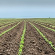 Stock Photo: SoybeField Rows