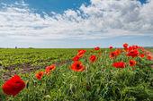 Poppy alanında — Stok fotoğraf