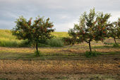 Orchard tree in sunset — Stock Photo