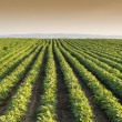 SoybeField Rows — Stock Photo #40543315