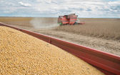 Harvesting of soy bean field  — Stock Photo