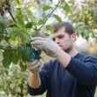 Pruning — Stock Photo #41620399