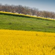 rapeseed field — Stock Photo #42504837