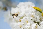 蜂が飛び回って — ストック写真