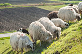sheep on meadow — Stock Photo
