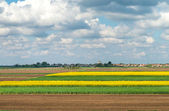 Field of oilseed rape  — Stock Photo