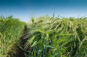 Young wheat — Stock Photo