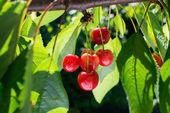 Cherries on the branch — Stock Photo