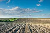 corn field at sunset — Stock Photo