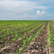 Young corn field — Stock Photo #46897273