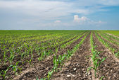 Young corn field — Stock Photo
