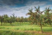 Cherries on orchard tree — Stock Photo