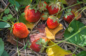 Strawberries growing  — Stock Photo