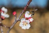 Arılar beyaz çiçek — Stok fotoğraf