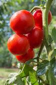 Büyüme domates — Stok fotoğraf