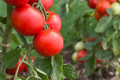 Growth tomatoes — Stock Photo
