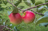 apples on the branch — Stock Photo