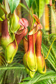 Nepenthes ventrata, a carnivorous plant — Stock Photo