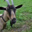 Brown goat chained up on the meadow — Stock Photo