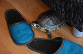 Small turtle at home on the wooden floor — Stock Photo