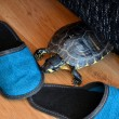 Stock Photo: Small turtle at home on wooden floor