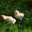 Two chicklings are feeding in the garden — Stock Photo