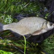Catched fish (Abramis Brama) on the bank in drop net — Stock Photo