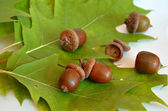 Many acorns next to the oak leaf on white background — Stock Photo