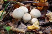 Macro photography of white mushrooms in forest — Stock Photo