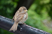 Fledged sparrow is sitting on the rail — Stock Photo