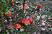 Close photography of fly mushroom in a forest — Stock Photo