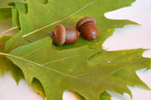 Mellow acorns next to the oak leaf on white background — Stock Photo
