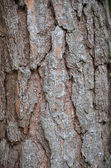 Close up photo of pine tree bark — Stock Photo
