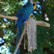Blue Macaw sitting on branch — Stock Photo #32741939