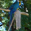 Stock Photo: Blue Macaw sitting on branch