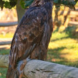 Golden Eagle sitting on fence n.2 — Stock Photo