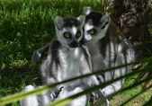 Confidences between Lemurs — Stock Photo