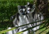Confidences between Lemurs — Stock Photo