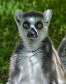 Lemur watching in photocamera — Stock Photo