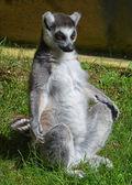 Yoga Lemur — Stock Photo