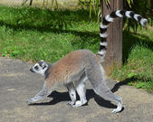Walking Lemur — Stock Photo