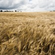 Rye Field in sunny weather - Stock Photo