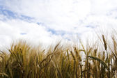 Rye Field in sunny weather — Stock Photo