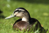 Wild Duck profile — Stockfoto