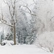 Woodland winter scene — Stock Photo