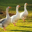 Flock of white and brown geese in green - Stock Photo